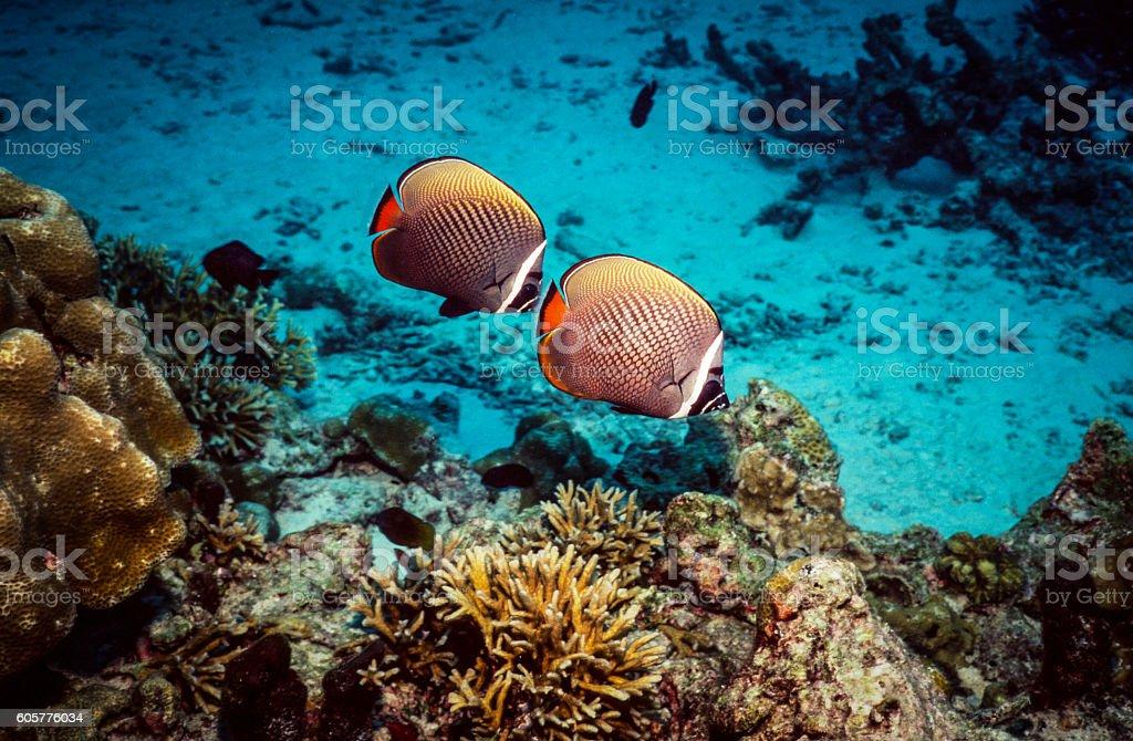 White-Collar Butterflyfish - Thailand (Pair) royalty-free stock photo