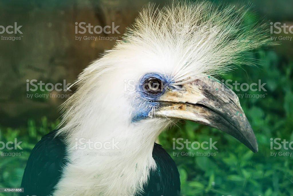 White-crowned hornbill (Berenicornis comatus) stock photo