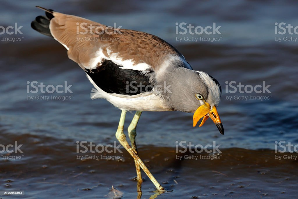White-crowned lapwing royalty-free stock photo