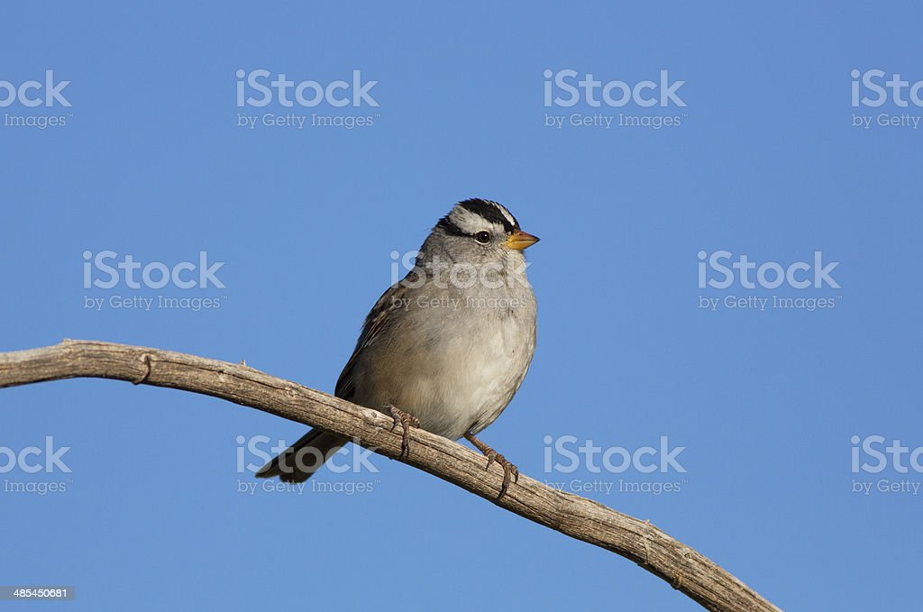 White-crowned Sparrow royalty-free stock photo