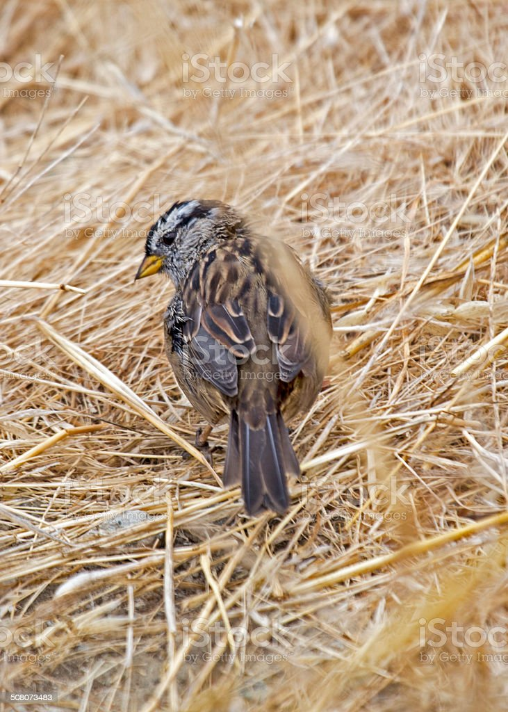 White-Crowned Sparrow (Zonotrichia leucophrys) stock photo