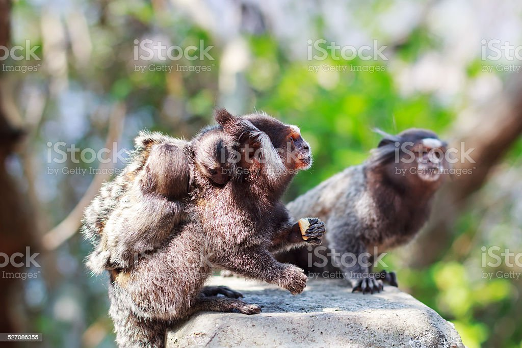 White-eared monkey family: male and female eating with baby stock photo