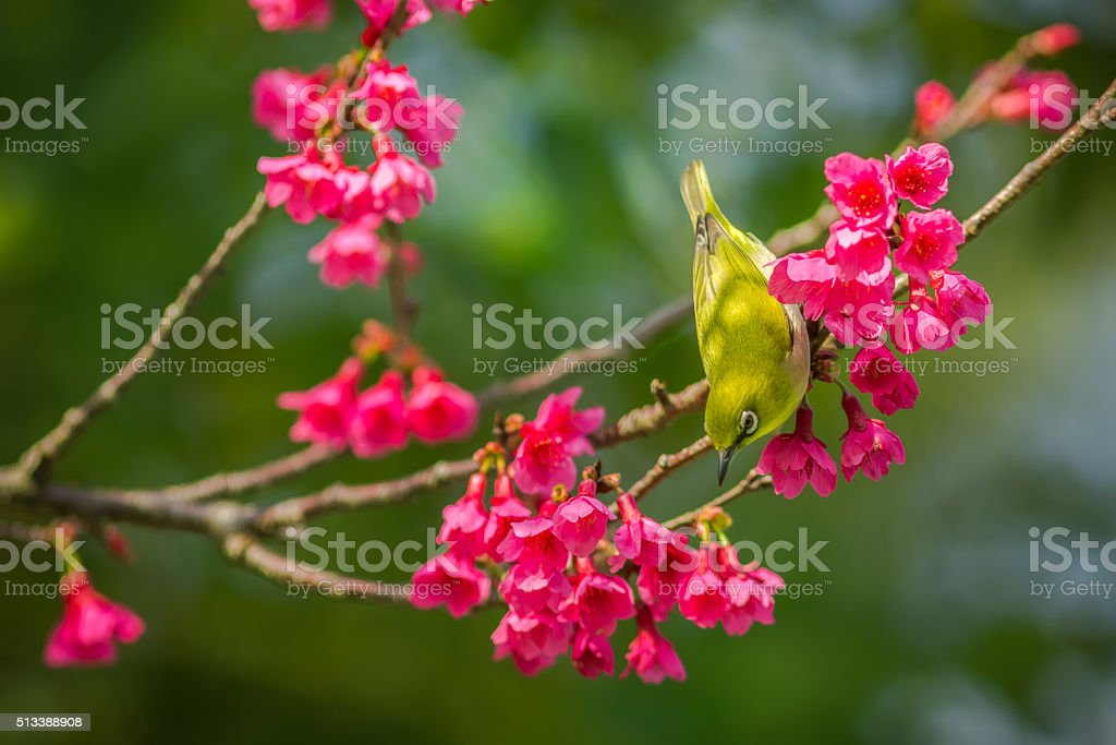 White-eye bird in Cherry blossoms stock photo