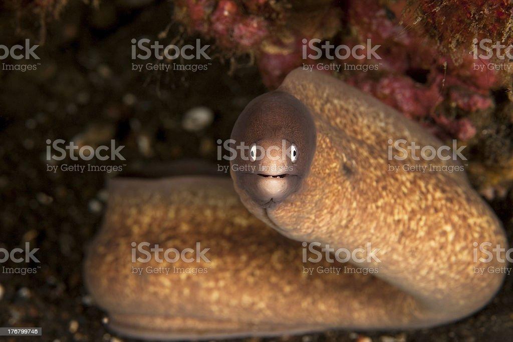 White-eyed moray eel stock photo
