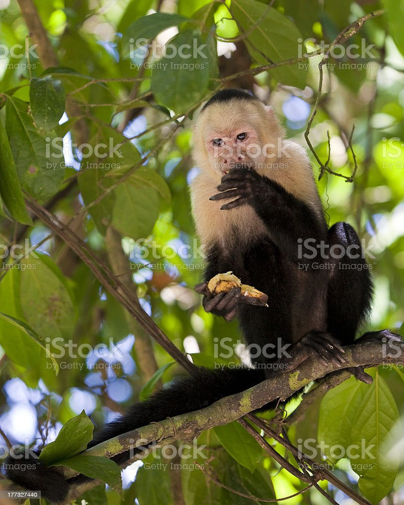 White-faced Capuchin Eating a Banana stock photo