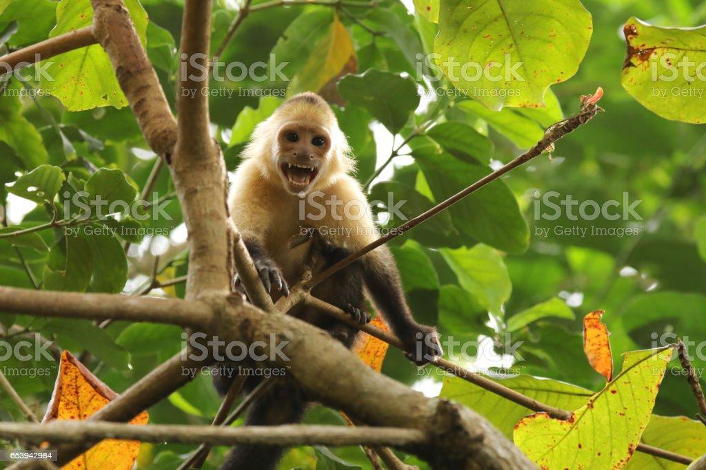 White-Faced Capuchin in Rainforest stock photo