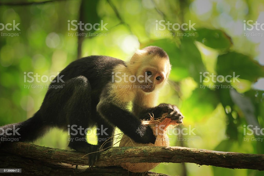 White-faced capuchin monkey stock photo
