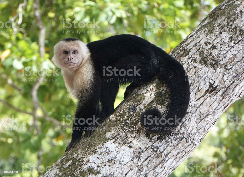 White-faced Capuchin stock photo