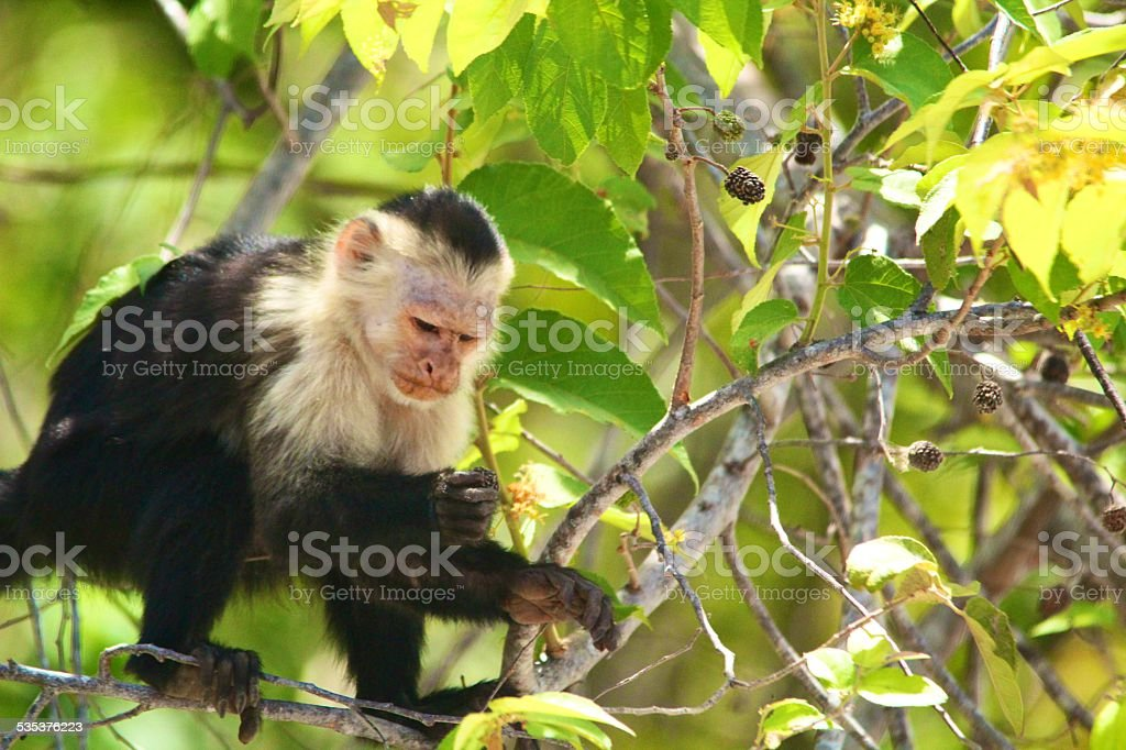white-faced capuchin with yellow flower stock photo