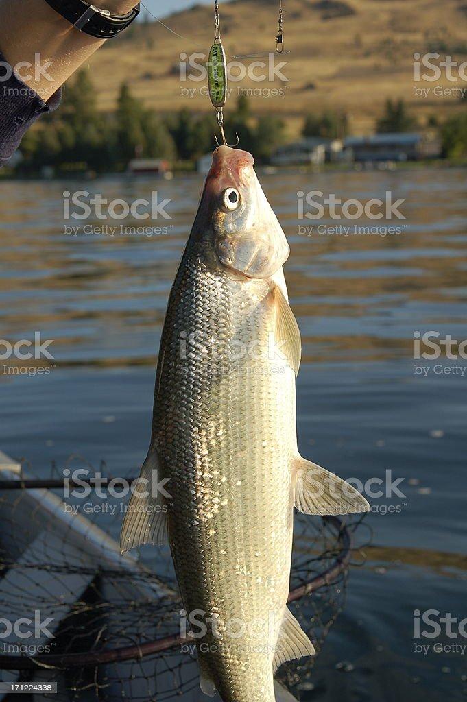 Whitefish stock photo