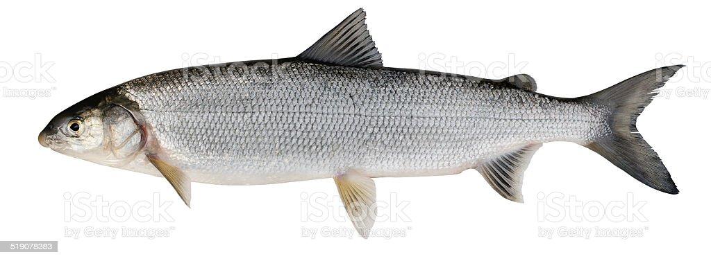 Whitefish ( Coregonus lavaretus ) stock photo