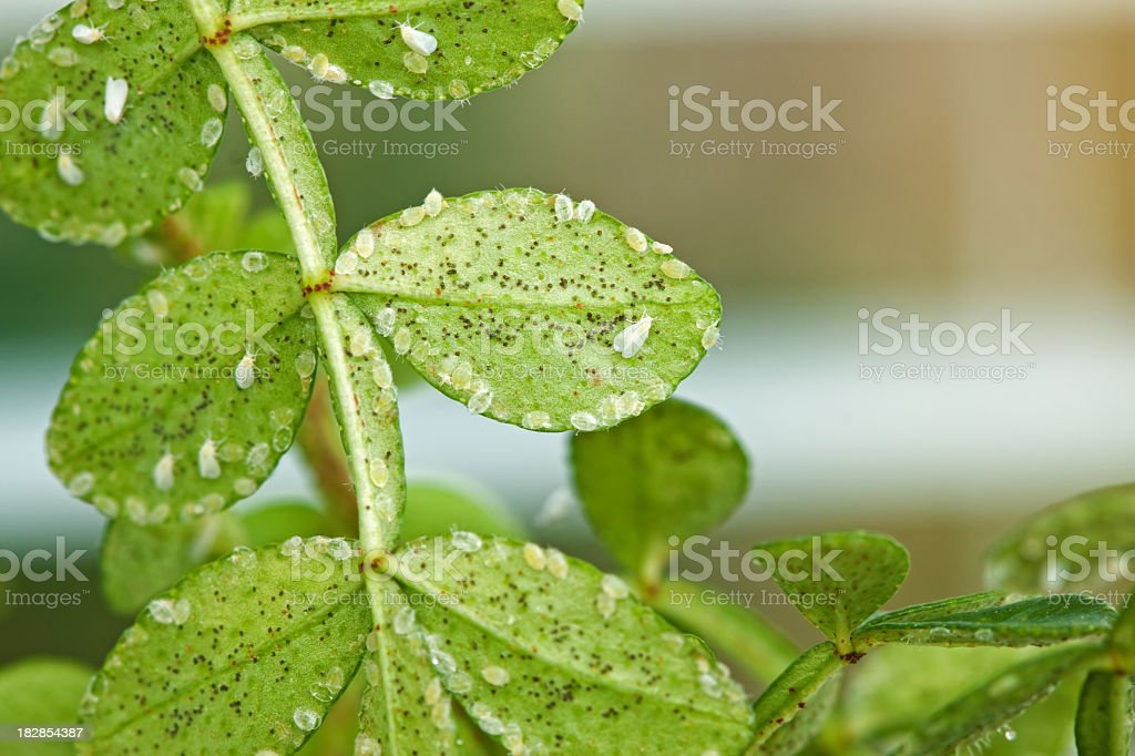 Whitefly stock photo