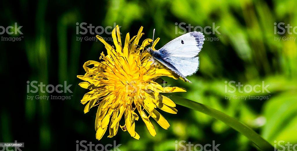 Whitefly stock photo