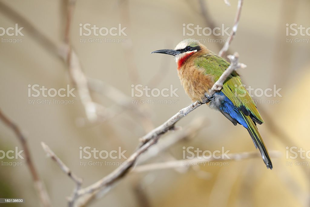 White-fronted Bee-eater, Merops bullockoides royalty-free stock photo