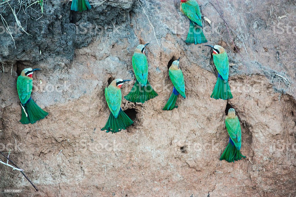 White-Fronted Bee-Eaters stock photo
