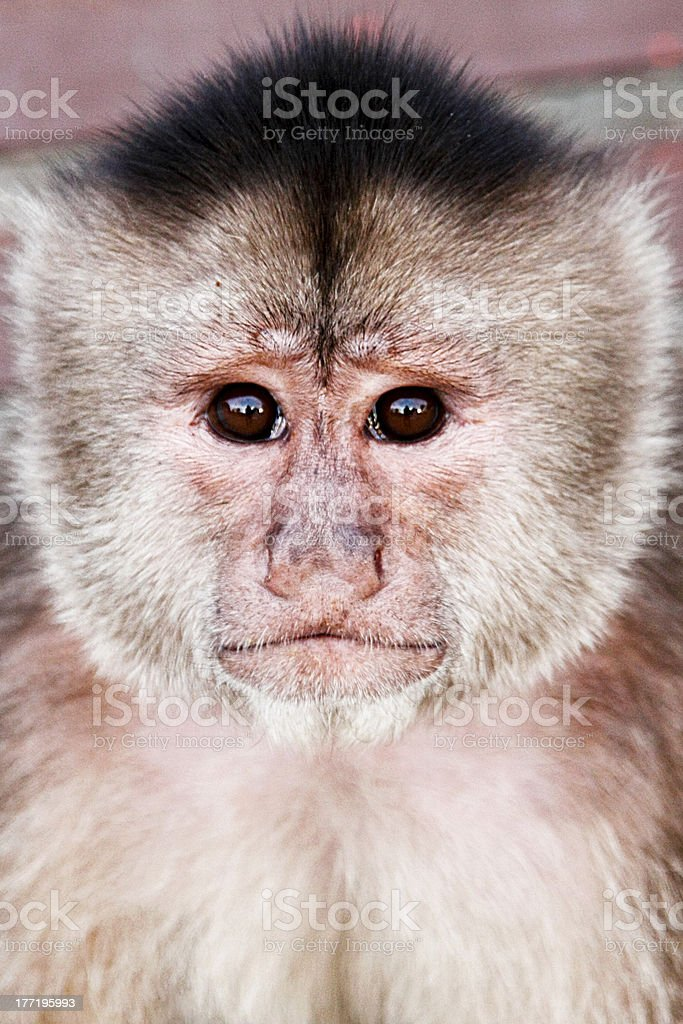 White-fronted capuchin monkey stock photo