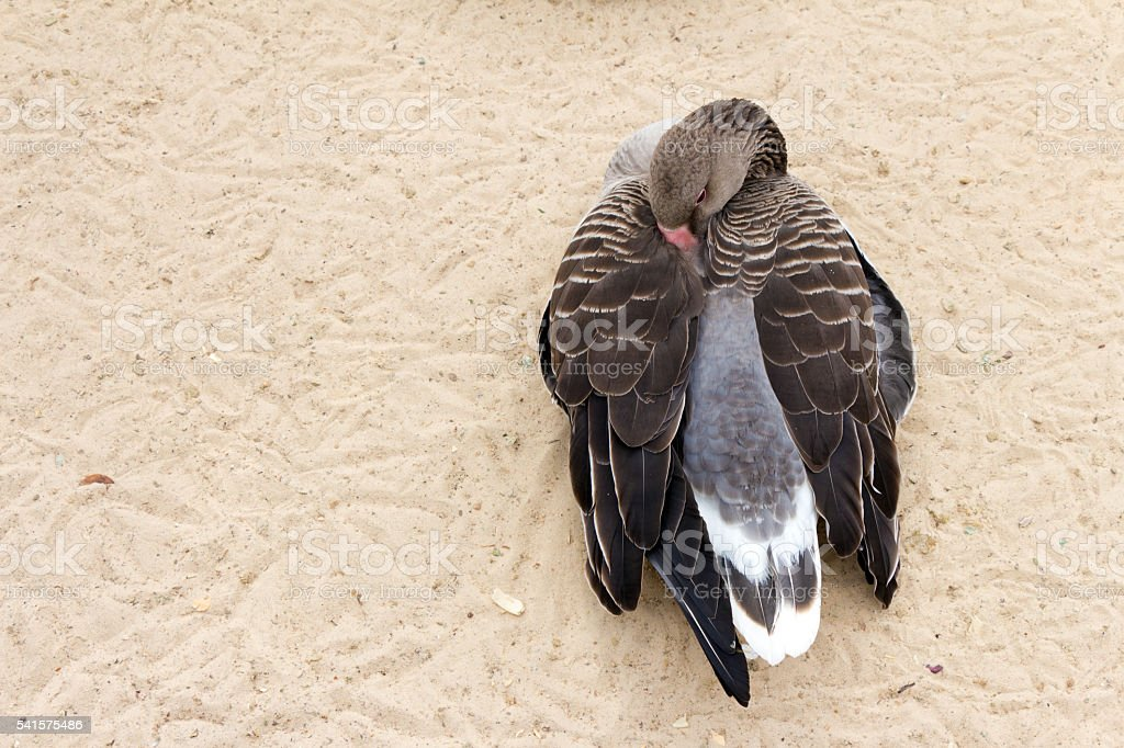 White-fronted goose (brown duck) relax and sleeping on the sand stock photo