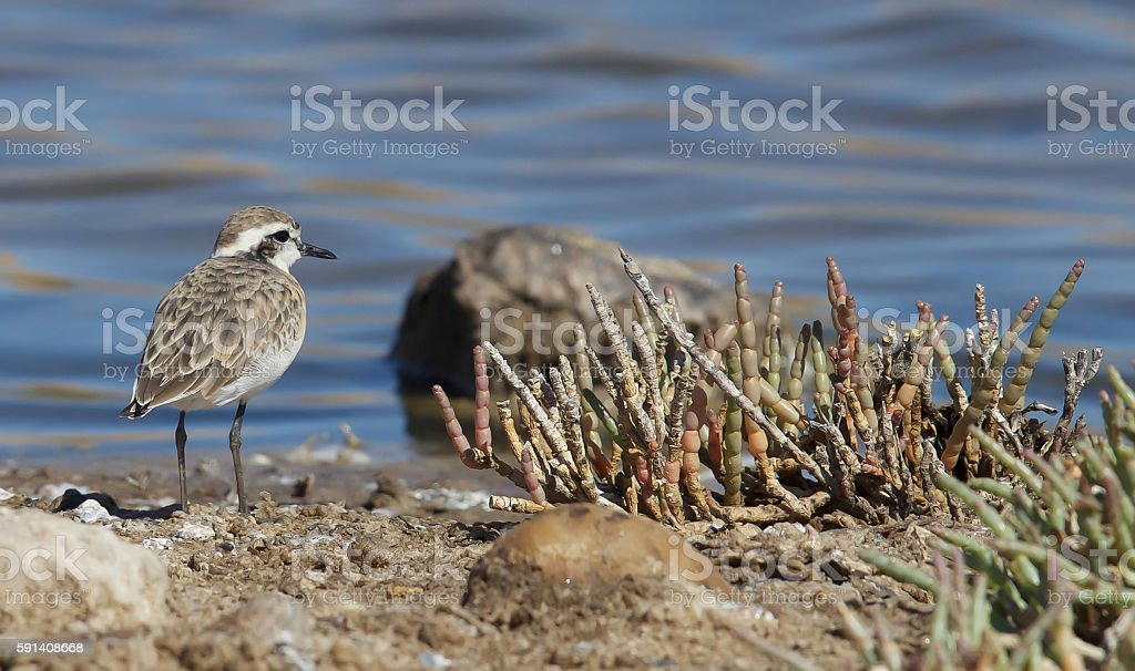 Whitefronted Plover stock photo