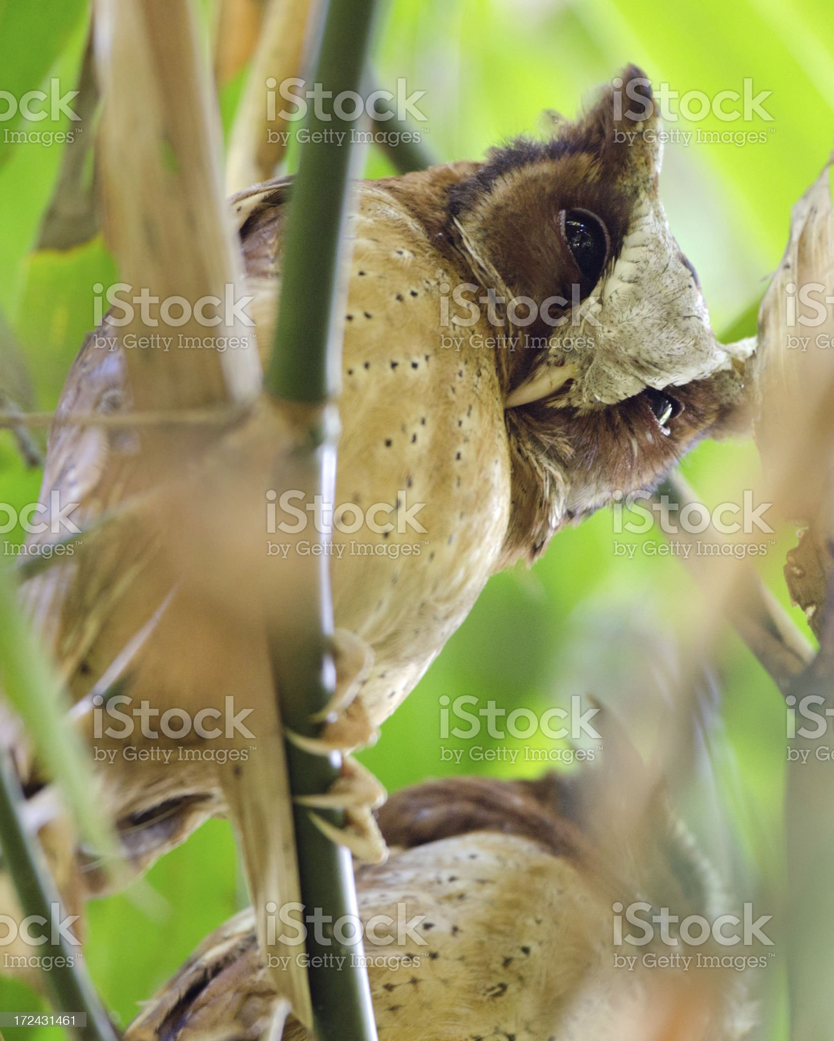 White-fronted Scops Owl - Thailand royalty-free stock photo