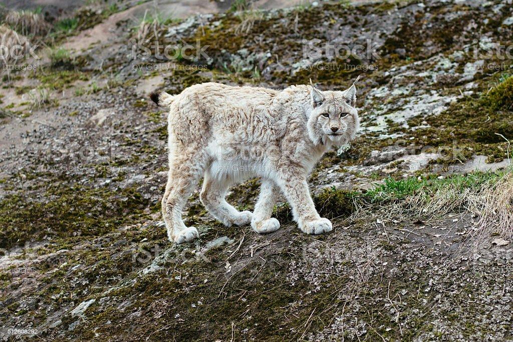 White-gray lynx on rock stock photo