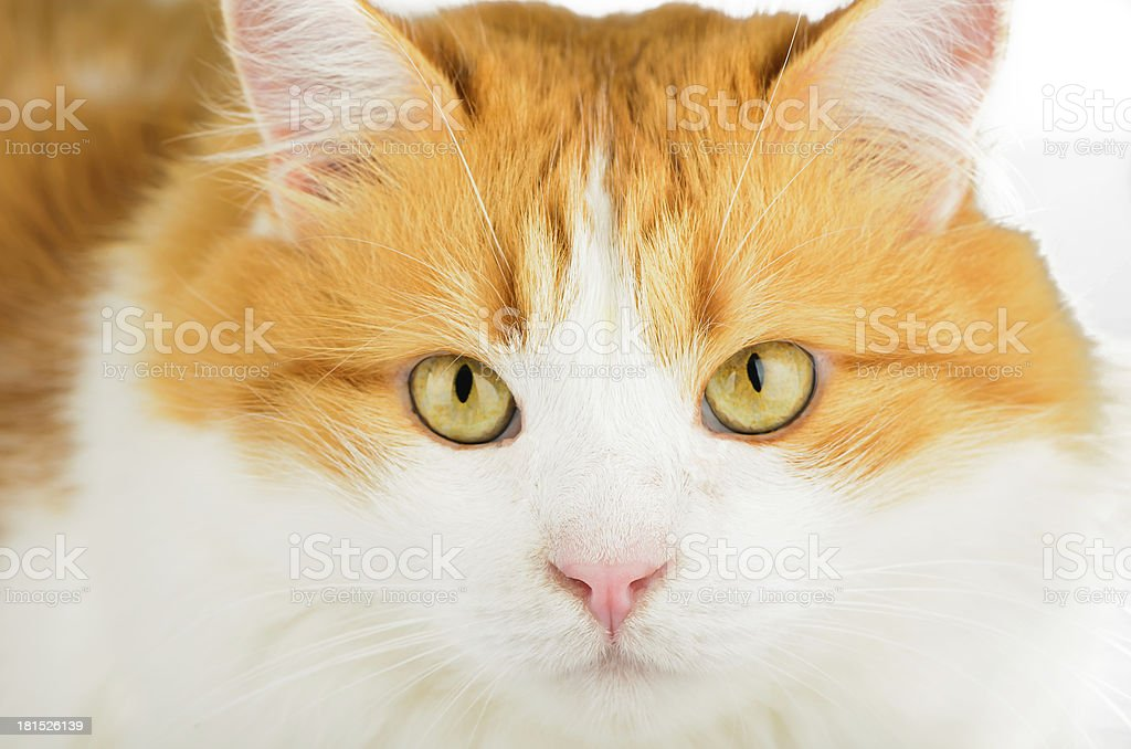 White-haired cat face closeup royalty-free stock photo