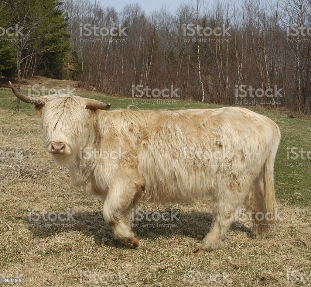 White-haired Highland cow crosses a pasture stock photo