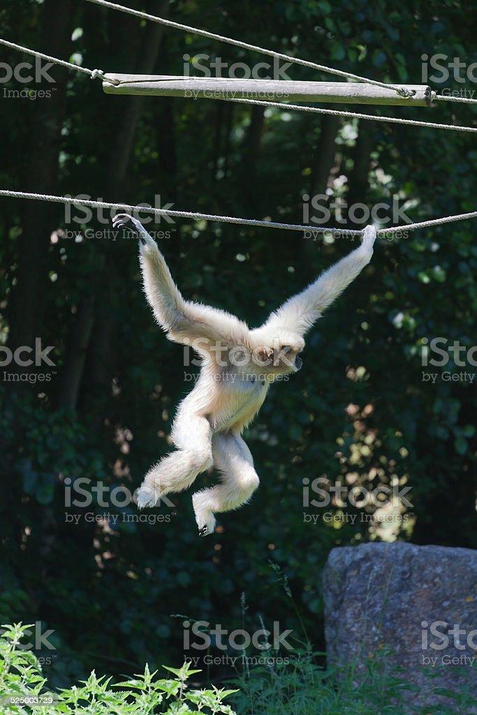 White-handed Gibbon brachiating stock photo