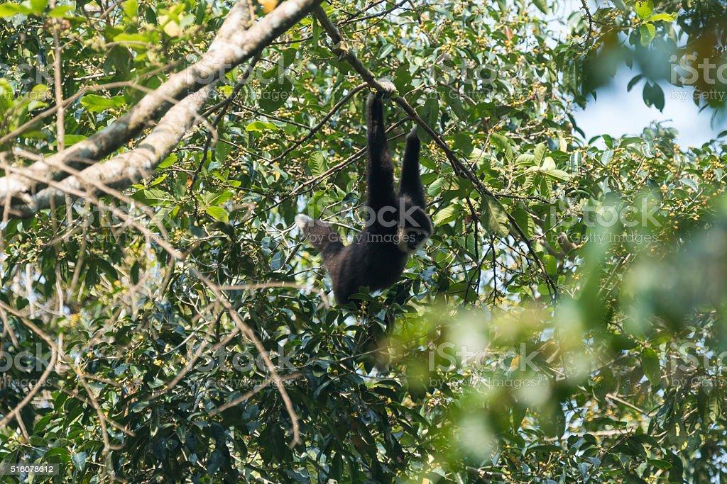 White-handed Gibbon in Khao Yai National Park stock photo