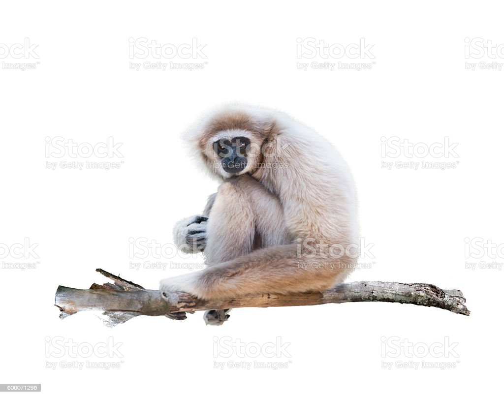 White-handed gibbon isolated in white stock photo