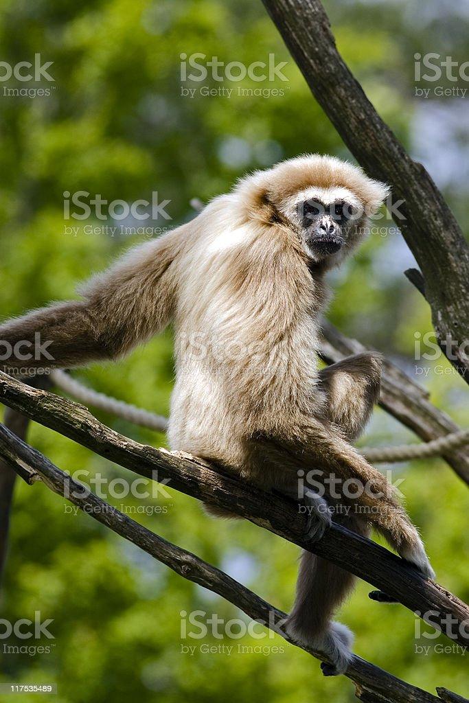 White-handed Gibbon (Hylobates lar) stock photo