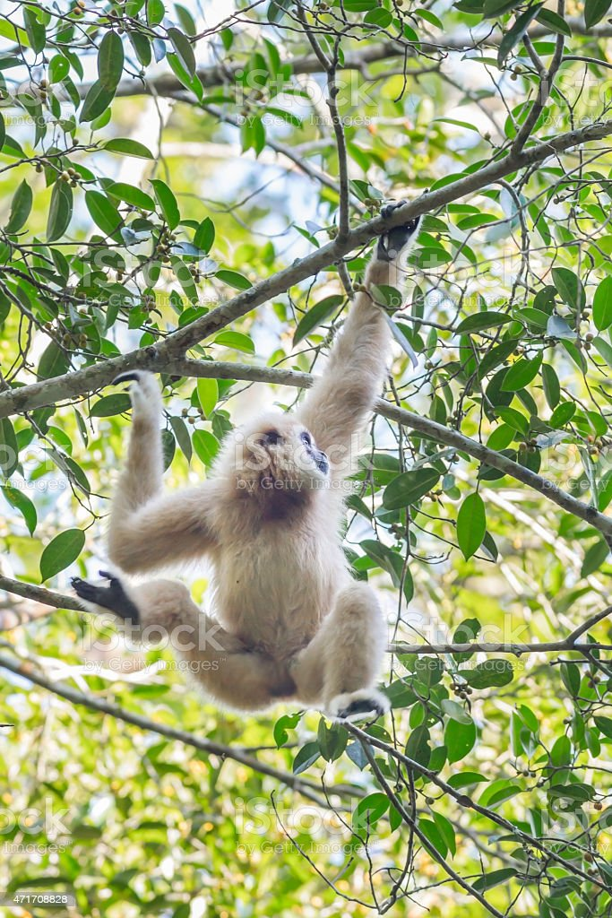 White-handed gibbon(Hylobates lar) stock photo
