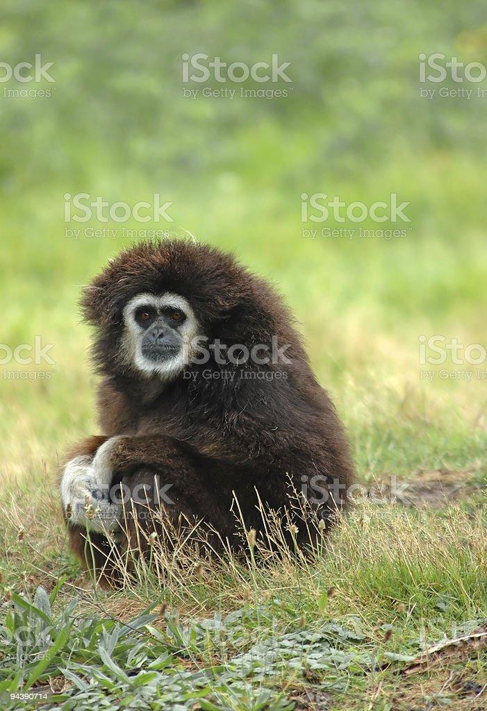 White-handed gibbon royalty-free stock photo