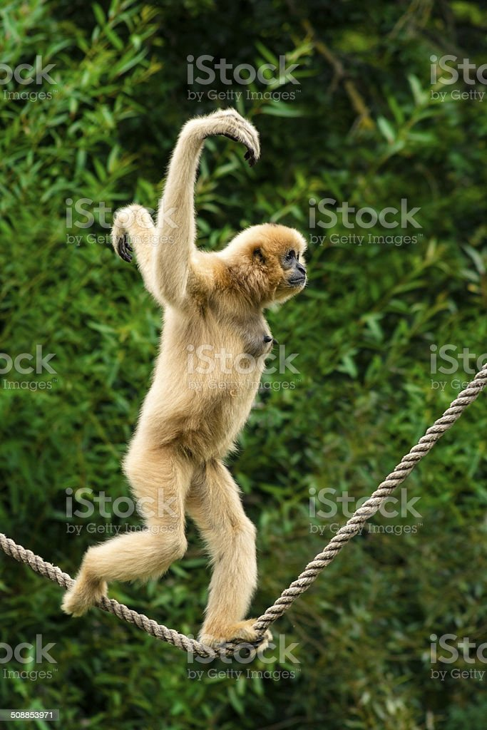 White-handed gibbon running over a streched in air rope stock photo