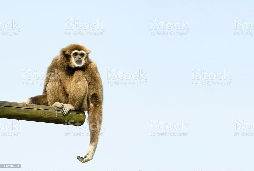 White-Handed Gibbon Sitting Down stock photo