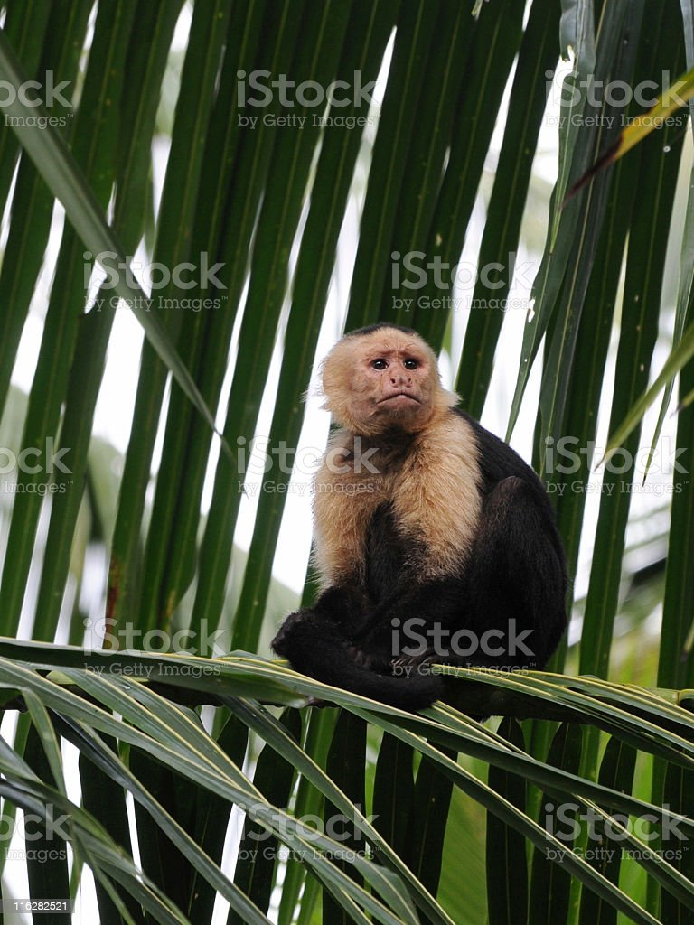 white-headed capuchin, Cebus capucinus stock photo