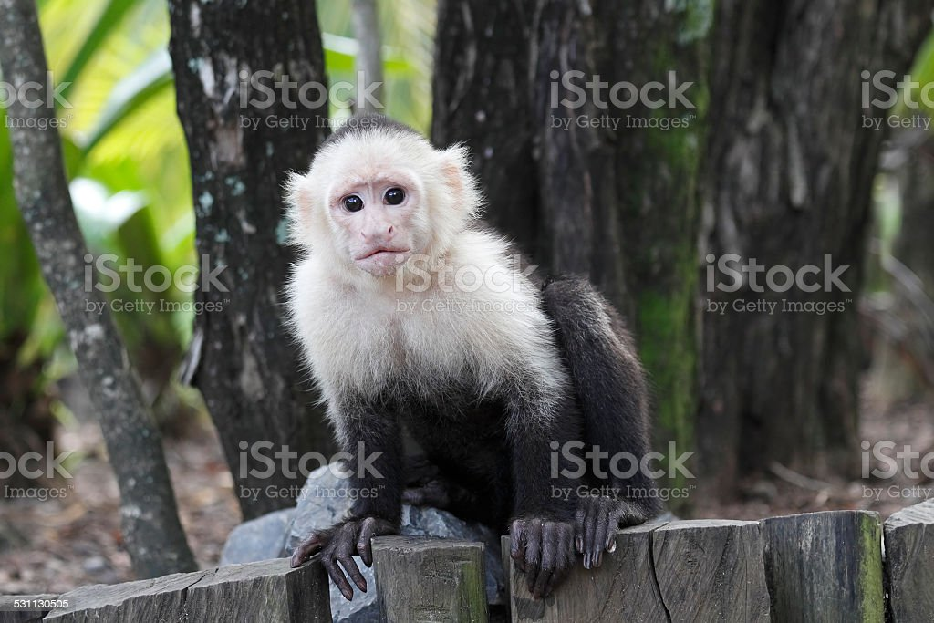 White-headed Capuchin Monkey stock photo