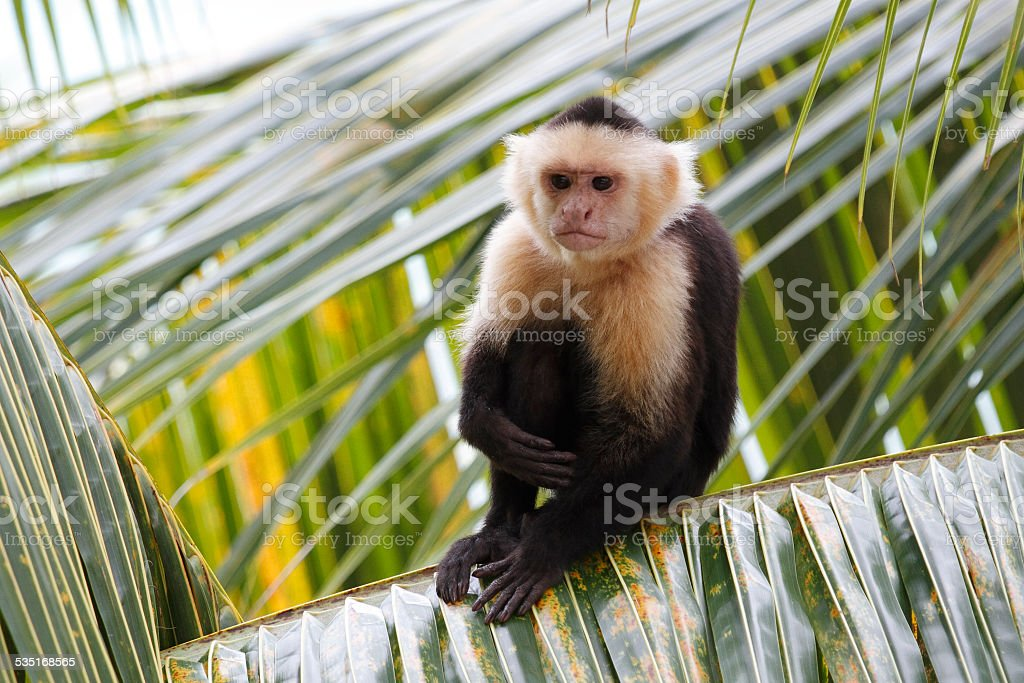 White-headed Capuchin Monkey Sitting in a Palm Tree stock photo