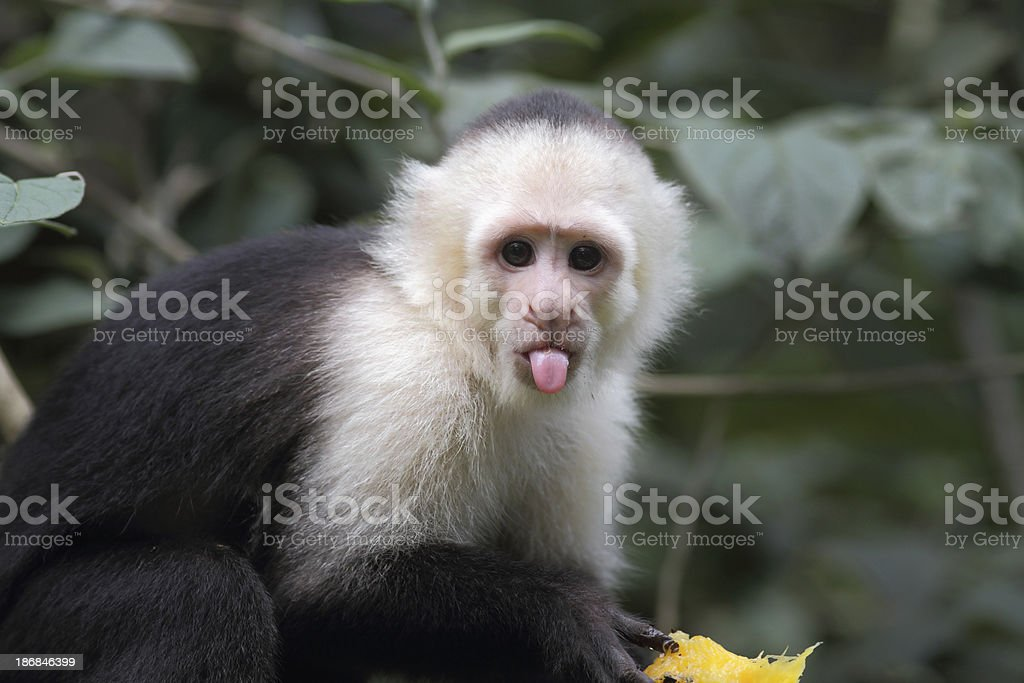 White-headed capuchin stock photo
