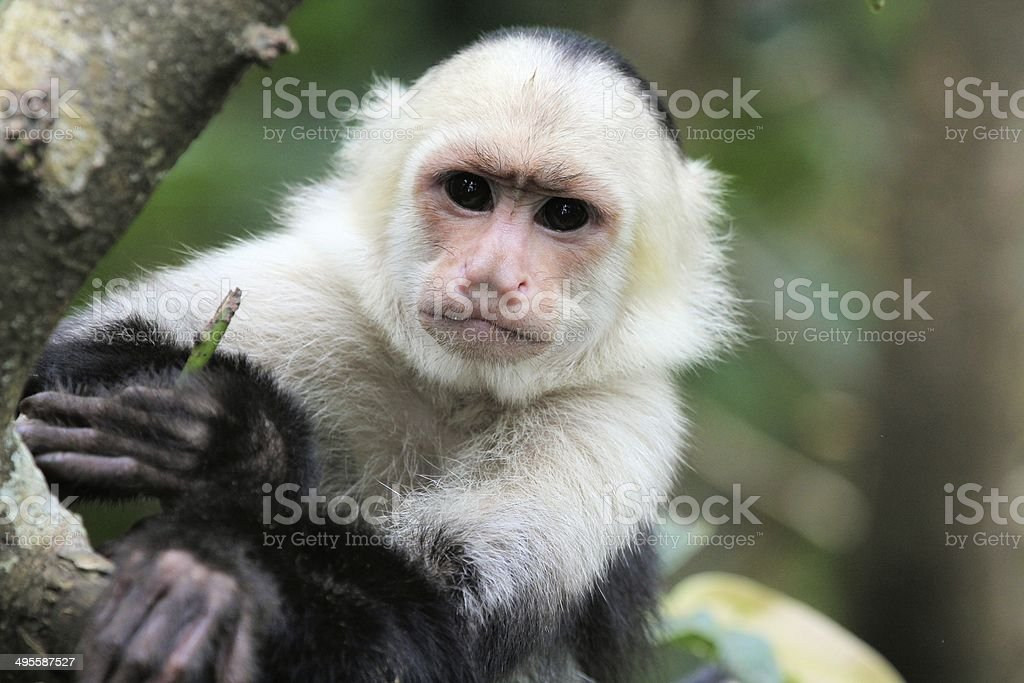 White-headed Capuchin (Cebus capucinus) stock photo