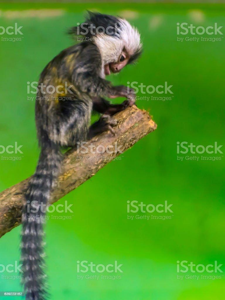 White-headed marmoset baby stock photo
