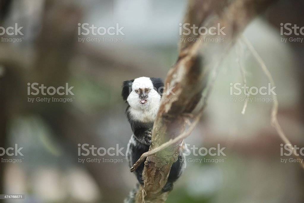 White-headed Marmoset sitting in a tree stock photo