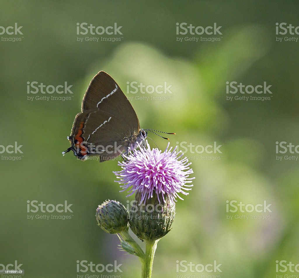 White-letter Hairstreak Butterfly royalty-free stock photo