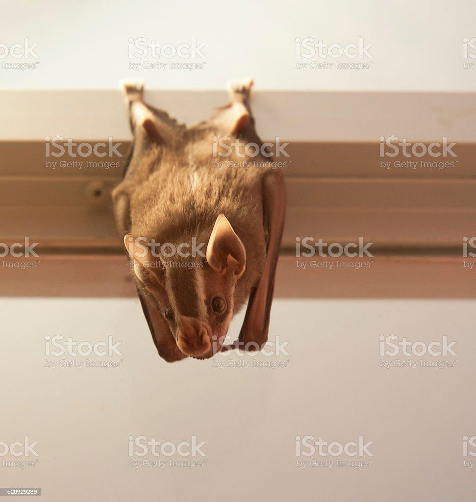 White-lined bat hanging on window frame stock photo