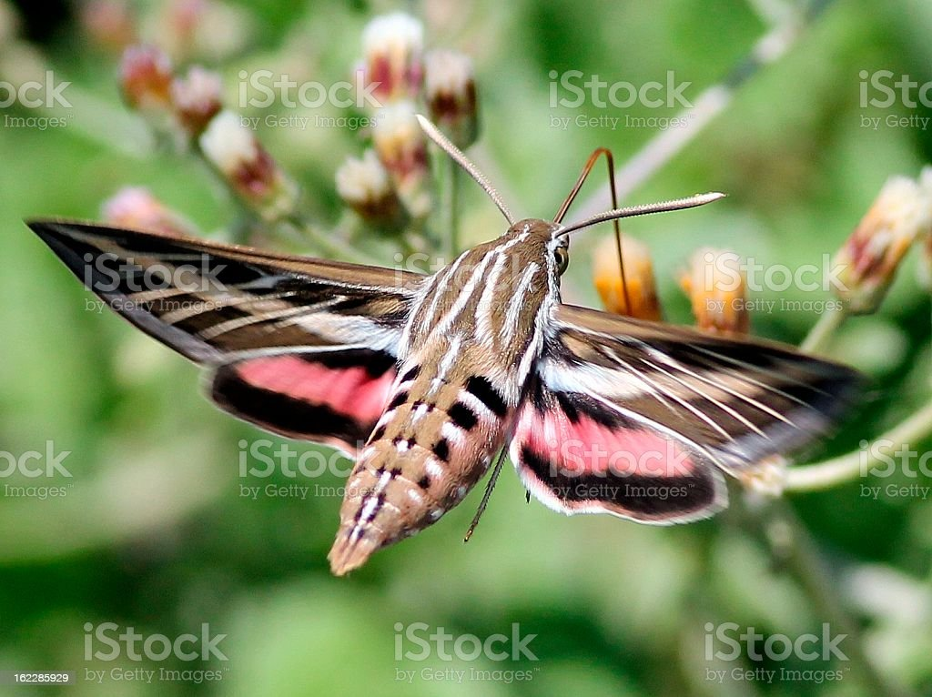 White-lined Sphinx in Mexico stock photo