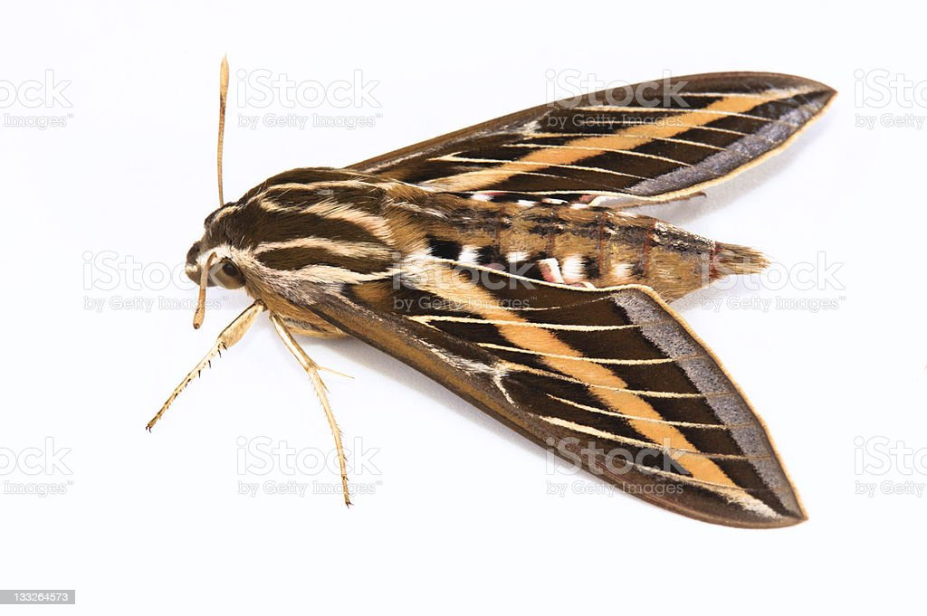 White-lined Sphinx Moth royalty-free stock photo