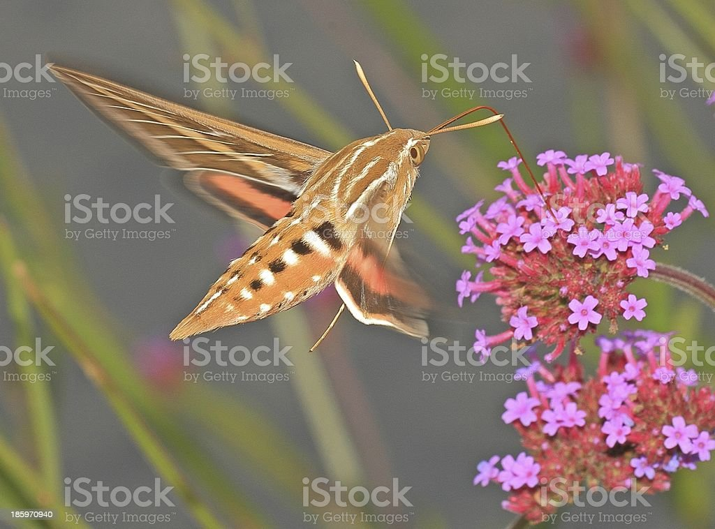 White-lined Sphinx Moth stock photo