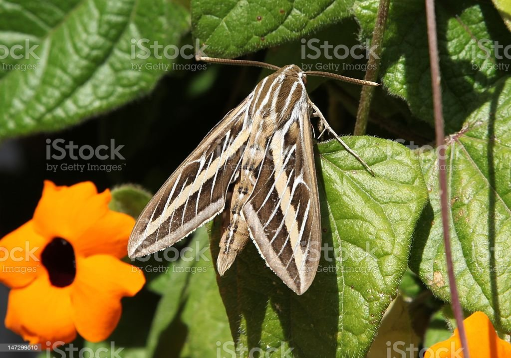White-lined Sphinx Moth Resting on a Vine stock photo