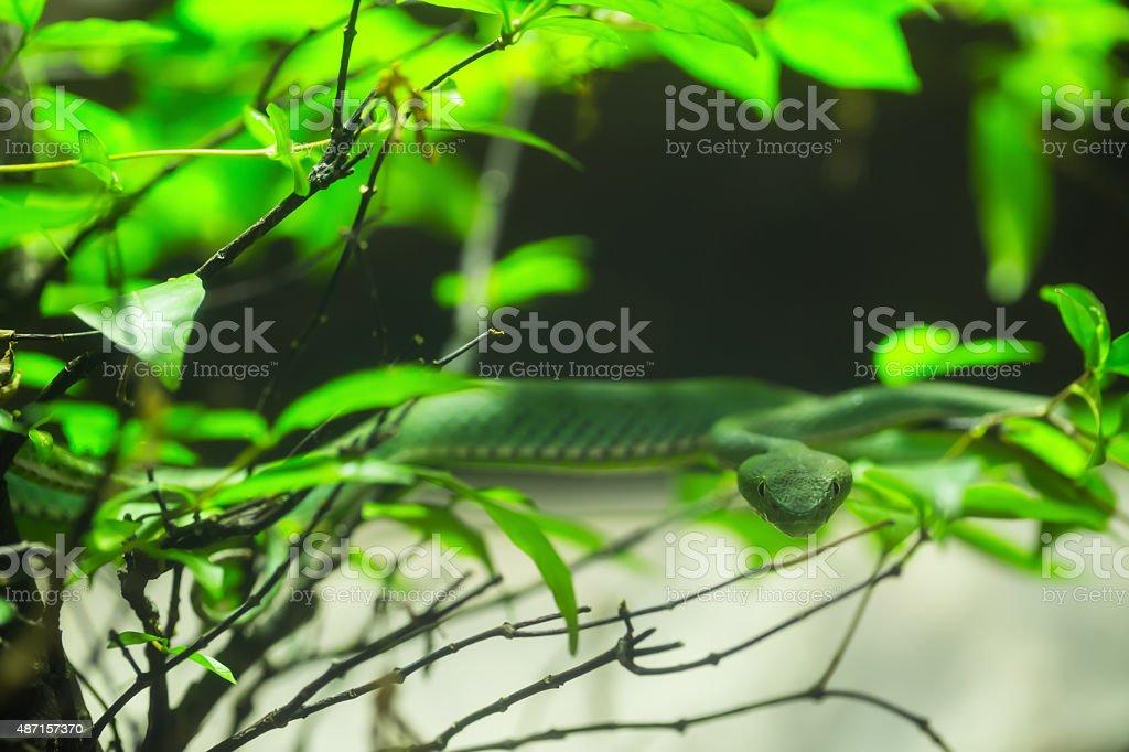 white-lipped stock photo