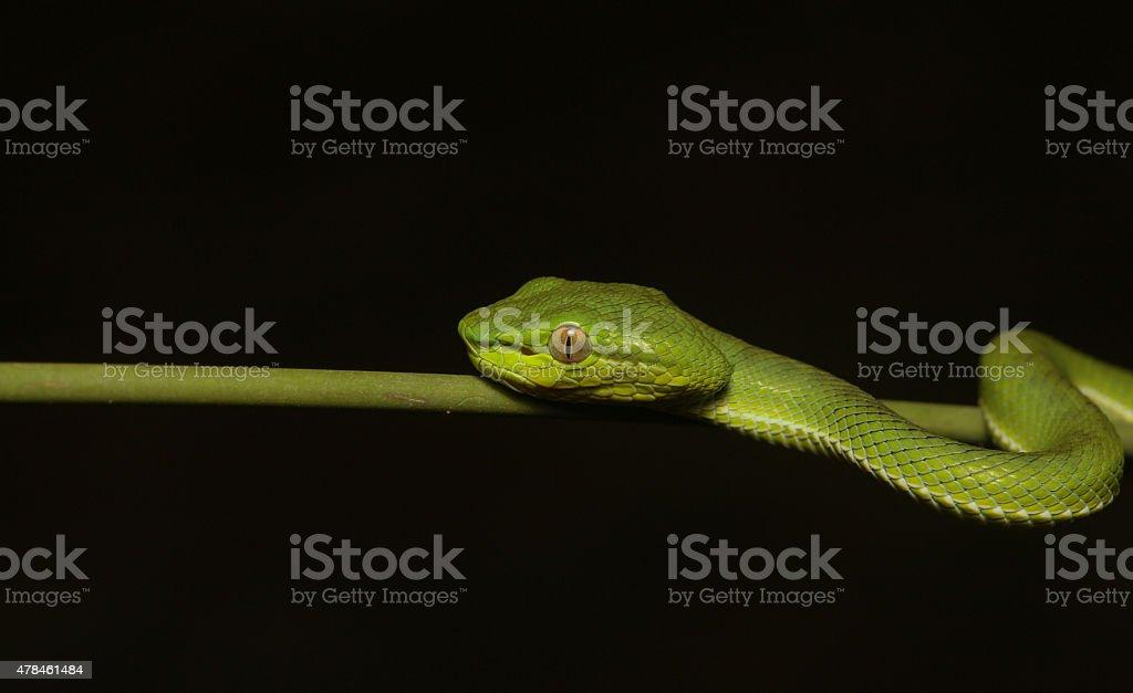 White-lipped Pitviper Snake stock photo