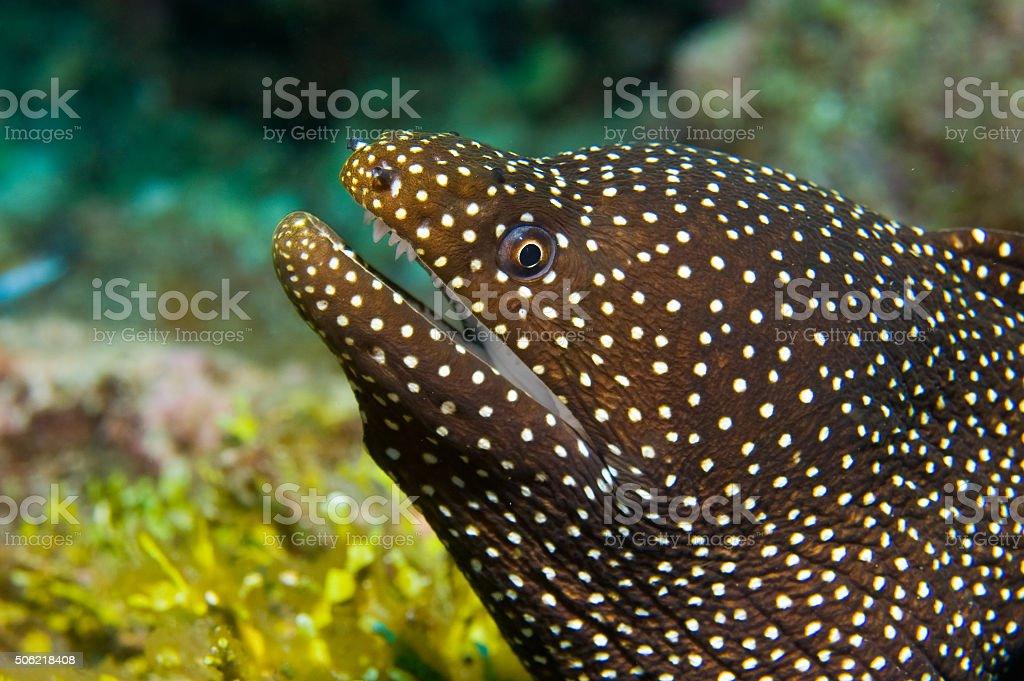 Whitemouth Moray Eel in the Maldives stock photo